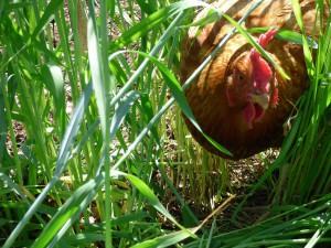 Holiday GIGM Chicken