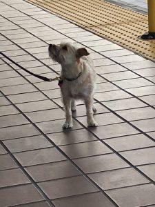 love dog waiting for train